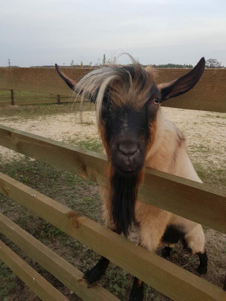 Контактный зоопарк - козы